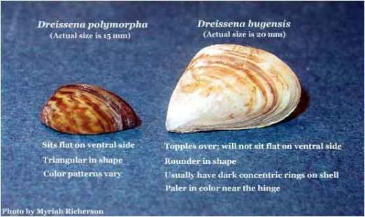 Zebra and Quagga Mussels