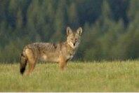 coyotefullview