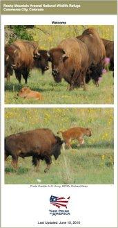 Buffalo at Rocky Mountain Arsenal