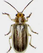 Tamarisk leaf beetle