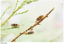 Tamarisk leaf beetles at work