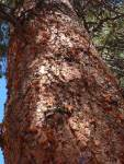Mountain pine beetles