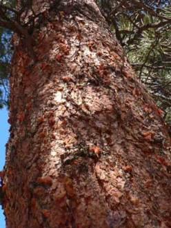 Mountain pine beetles