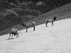 Elk on Trail Ridge Road August 2011