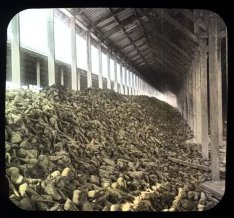 Sugar beets via UC Berkeley