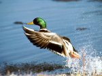 mallardducktakingflight