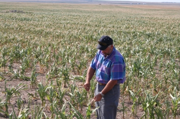 Drought impacted corn. Water stress can lead to insufficient water supply for cities, agriculture, and vegetation. Dry vegetation may facilitate the propagation and increase the risk of wildfires.