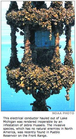 Zebra mussel infestation
