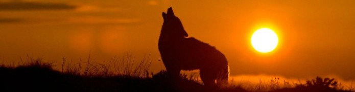 Coyote (Canis Latrans) silhouette howling at sunrise via Michael Francis Photography