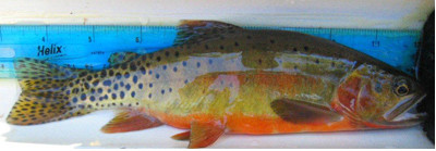 Rio Grande cutthroat trout via Colorado Parks and Wildlife