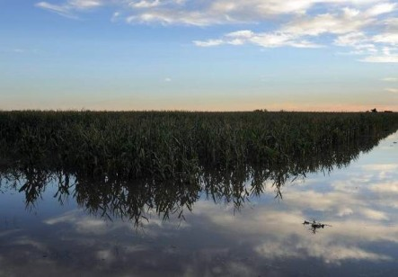 Flooded corn crop September 2013