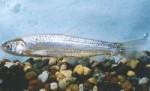 Rio Grande Silvery Minnow via Wikipedia