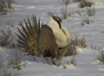 Greater sage grouse via Idaho Fish and Game