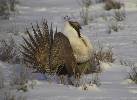 Greater sage-grouse via Idaho Fish and Game