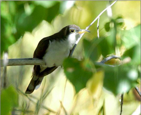 Yellow-billed cuckoos have nearly been extirpated from the western U.S. Photo courtesy Rocky Mountain Bird Observatory.