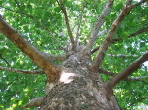 Sycamore Tree photo via Wikipedia