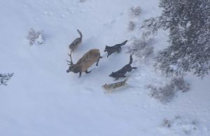 Heavy snow has pushed elk out of the high country, so the Colorado Division of Wildlife will try to divert them from important livestock feeding areas in the Yampa Valley. PHOTO COURTESY THE NATIONAL PAKR SERVICE.