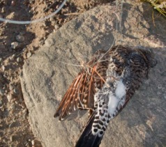 A red-shafted flicker, which is a forest bird, died after getting entangled in abandoned fishing line in Summit County, Colorado.