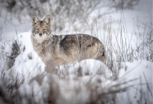 Coyote Albuquerque February 2015 photo by Roberto E. Rosales