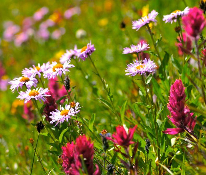 San Juan wildflowers.