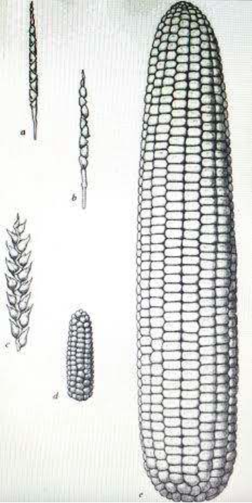 Fig. 6. Diagram of teocintle, tunicate, primitive, and modern maize. Source: Beadle (1980).