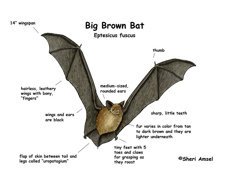 cdot gives local bats a warm holiday gift this season coyote gulch Bat Diagram to Label big brown bat diagram via shari ansel and exlploringnature org