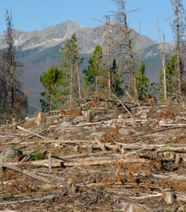 Forest ecosystems around the world are under the gun from climate change, development, insect invasions and conversion to agriculture. This stand of lodgepoles in Colorado was clear cut after pine beetles killed most of the trees.