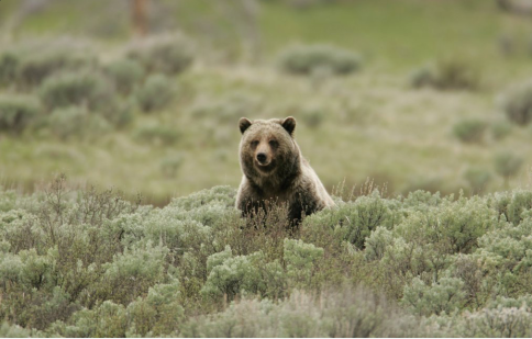 Yellowstone Grizzly bear photo via WyoFile
