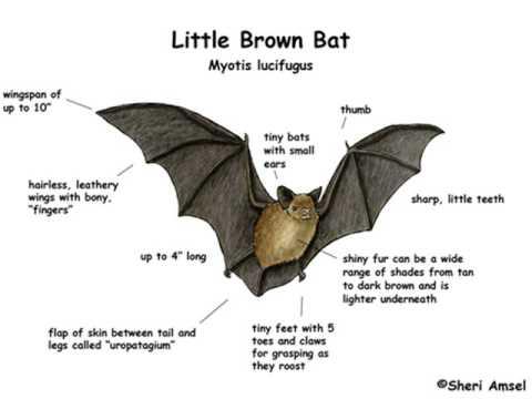 diagram of common bat wiring diagram onlinecdot gives local bats a warm holiday gift this season coyote gulch symbols of bats diagram of common bat