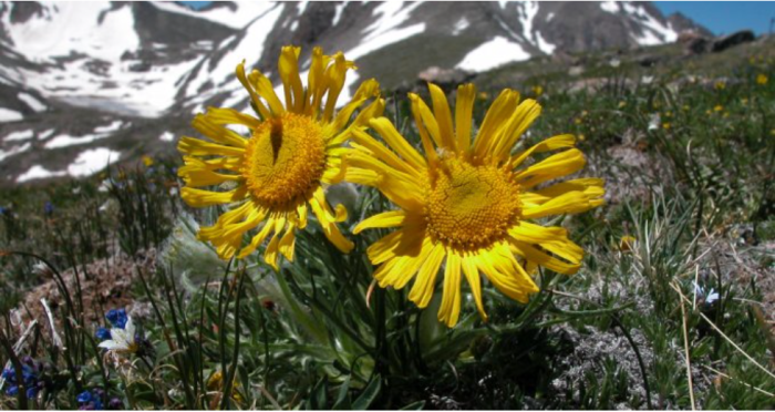 alpineflowersniwotridgeviacuboulder