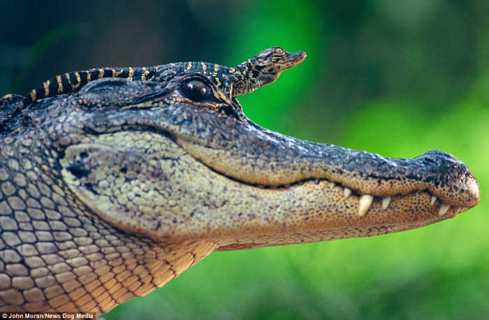 Riding high: A baby alligator rests on its mother's head to keep away from the water and attract some sun.The magical image was taken by was taken in St. Augustine Alligator Farm, Florida, in by John Moran via @MailOnline.