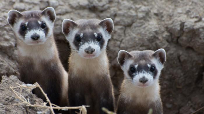 Black-footed ferrets (Mustela nigripes). Photo © Kimberly Fraser/USFWS