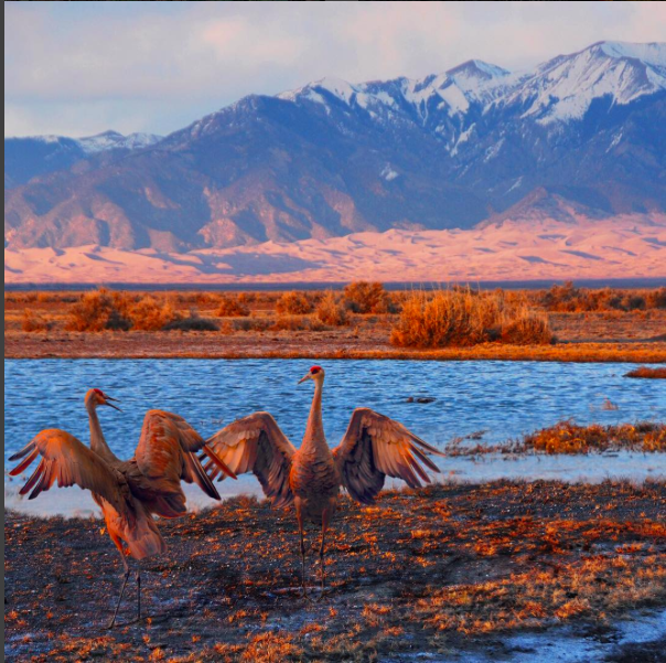 Every March, thousands of Sandhill cranes stop in #GreatSandDunes National Park & Preserve on their way to their northern breeding grounds. The fields and wetlands of #Colorado's San Luis Valley provide excellent habitat for these majestic #birds. With the dunes and mountains nearby, they dance and call to each other. It's one of nature's great spectacles. Photo @greatsanddunesnps by #NationalPark Service.