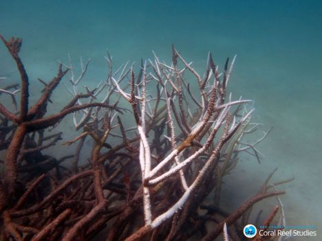 Dead and dying staghorn co ral , central Great Barrier Reef in May 2016. Credit: Johanna  Leonhardt