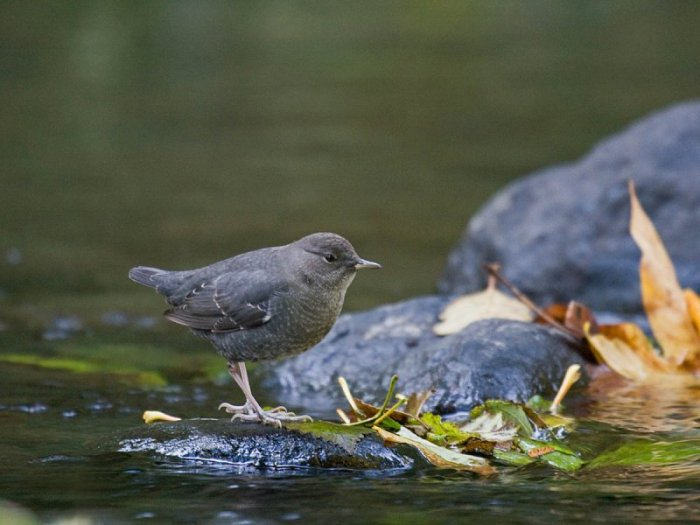 The habitat of the American Dipper (Cinclus americana) is usually clear, rushing, boulder-strewn, mountain streams, within tall conifer forests. Photo via http://birdingisfun.com
