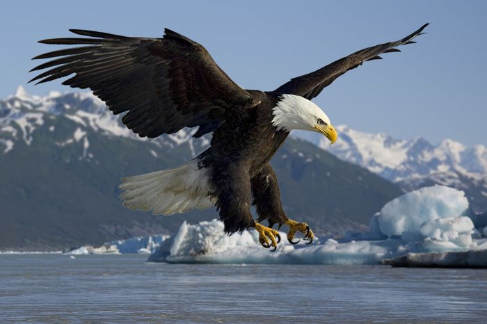 Adult bald eagle on the Alsek River. Photo credit Wikimedia Commons.