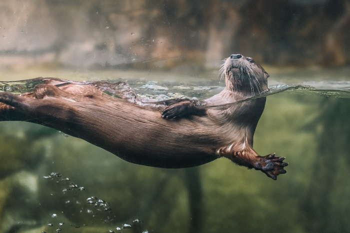 North American River Otter: Live in coastal estuaries, rivers and even mountain streams. Sightings of river otters in the wild are rare because they prefer uninhabited areas with clean, clear water where food is abundant. Photo credit South Carolina Aquarium.