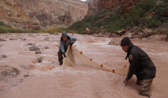 NPS and USFWS personnel use a seine net to trap humpback chubs in the Little Colorado River. Photo credit Mike Pillow (USFWS) via the Arizona Daily Sun.