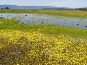 Vernal pools form in winter and spring and support many types of animals and plants. Photo credit BLM.