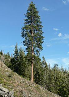 Pinus ponderosa subsp. ponderosa. Photo credit Wikimedia.