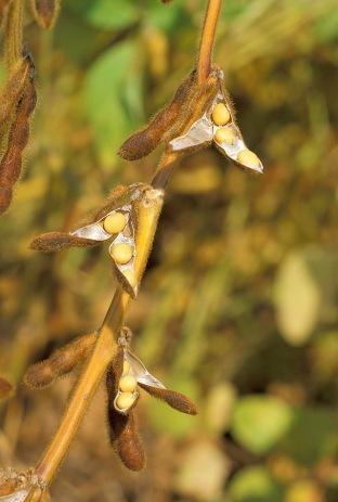 Soybean photo credit Wikimedia.