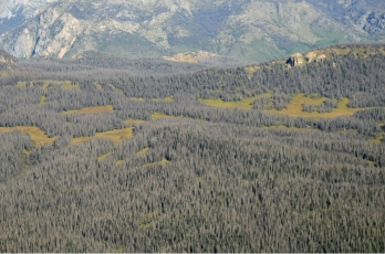 Nearly every mature spruce tree has been killed by spruce beetle in this area of the Rio Grande National Forest in southwest Colorado. (Credit: U.S. Forest Service; photo: Brian Howell)
