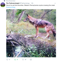 Coyote crossing creek in Pennsylvania: The Trailcomologist