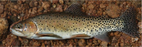 Greenback cutthroat trout photo credit: Colorado Parks and Wildlife.