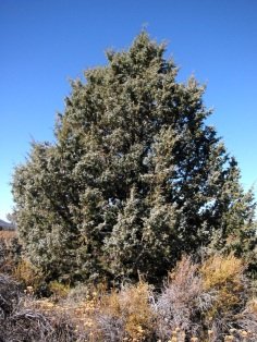 Piñon pine (Juniperus_occidentalis). Photo credit: Wikimedia