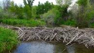 A beaver dam on the Gunnison River. Photo: Brent Gardner-Smith/Aspen Journalism