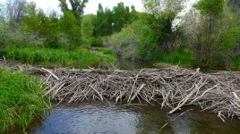 A beaver dam on the Gunnison River. Photo: Brent Gardner-Smith/Aspen Journalism