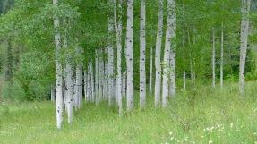 Aspen trees, in the upper Roaring Fork River basin. Photo: Brent Gardner-Smith/Aspen Journalism
