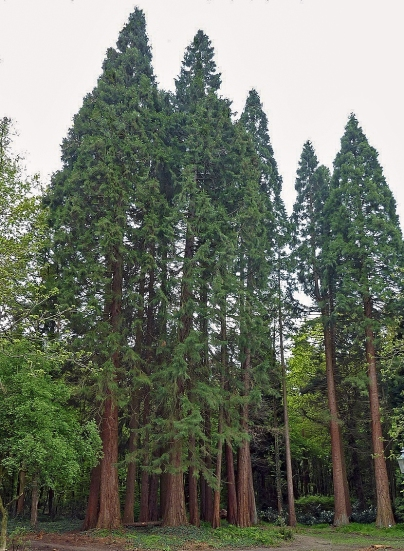 """Like many Westerners, giant sequoias came recently from farther east. Of course, """"recent"""" is a relative term. """"You're talking millions of years (ago),"""" William Libby said. The retired University of California, Berkeley, plant geneticist has been studying the West Coast's towering trees for more than half a century. Needing cooler, wetter climates, the tree species arrived at their current locations some 4,500 years ago — about two generations. """"They left behind all kinds of Eastern species that did not make it with them, and encountered all kinds of new things in their environment,"""" Libby said. Today, sequoias grow on the western slopes of California's Sierra Nevada."""