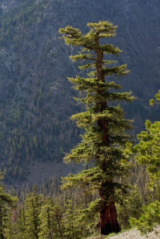 Coast Douglas Fir from the Wenatchee Mountains. Photo credit: By Walter Siegmund (talk) - Own work, CC BY-SA 3.0, https://commons.wikimedia.org/w/index.php?curid=5931511